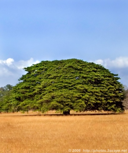 Large-Guanacaste-tree.jpg